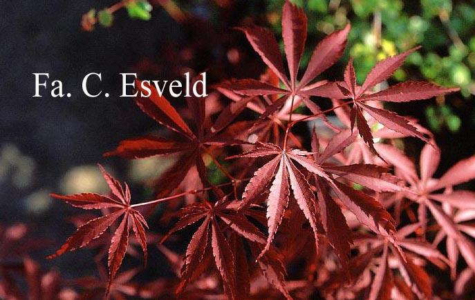 Acer palmatum 'Donzuru-boh'