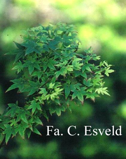 Acer palmatum 'Eimini'