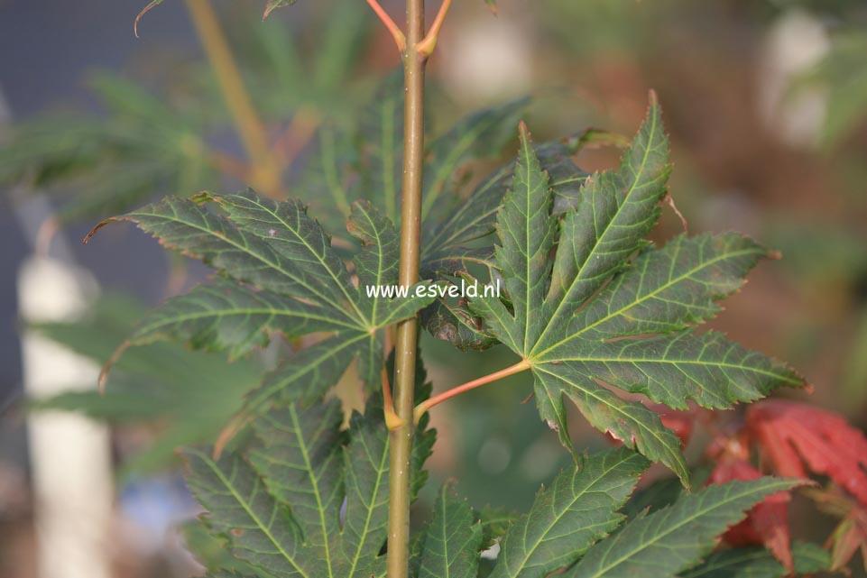 Acer palmatum 'Ever Autumn'