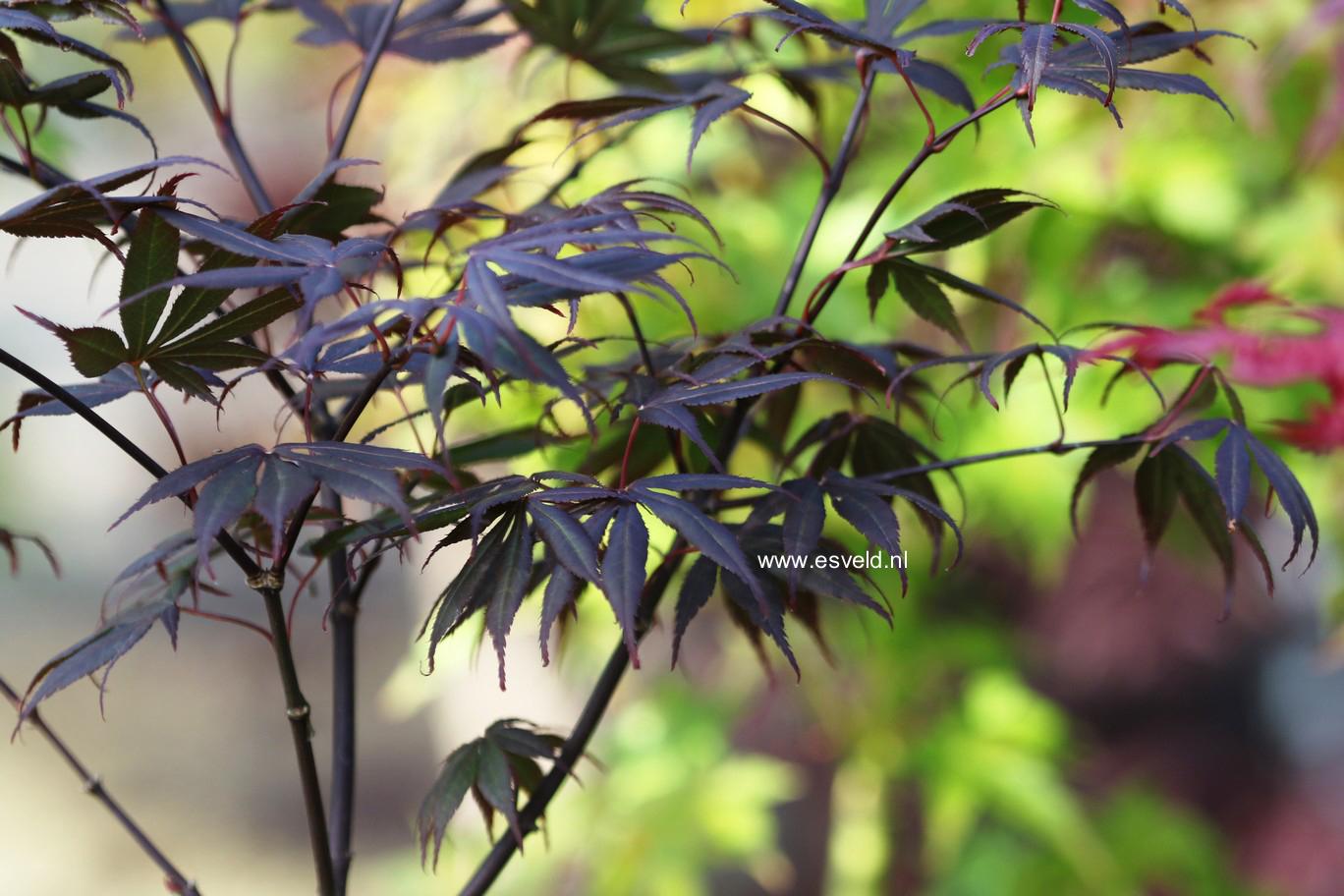 Acer palmatum 'Ezell's Red'