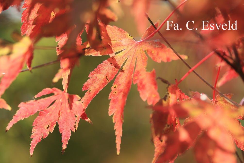Acer palmatum 'Fallfire'