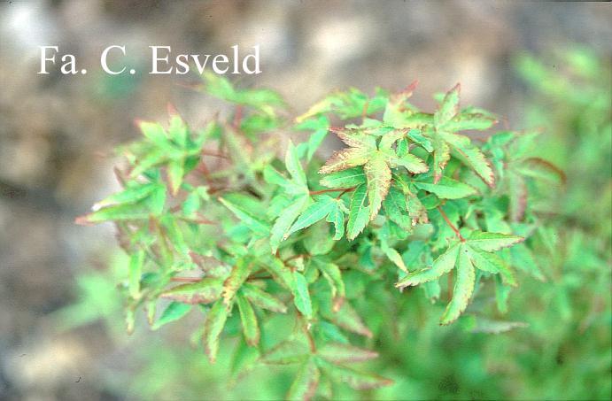 Acer palmatum 'Fūjin'
