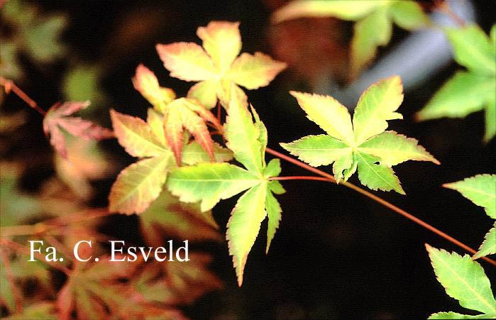 Acer palmatum 'Gasshoh'