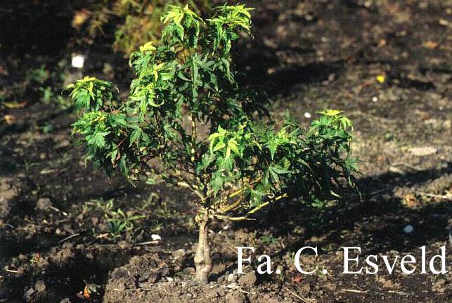Acer palmatum 'Globosum'