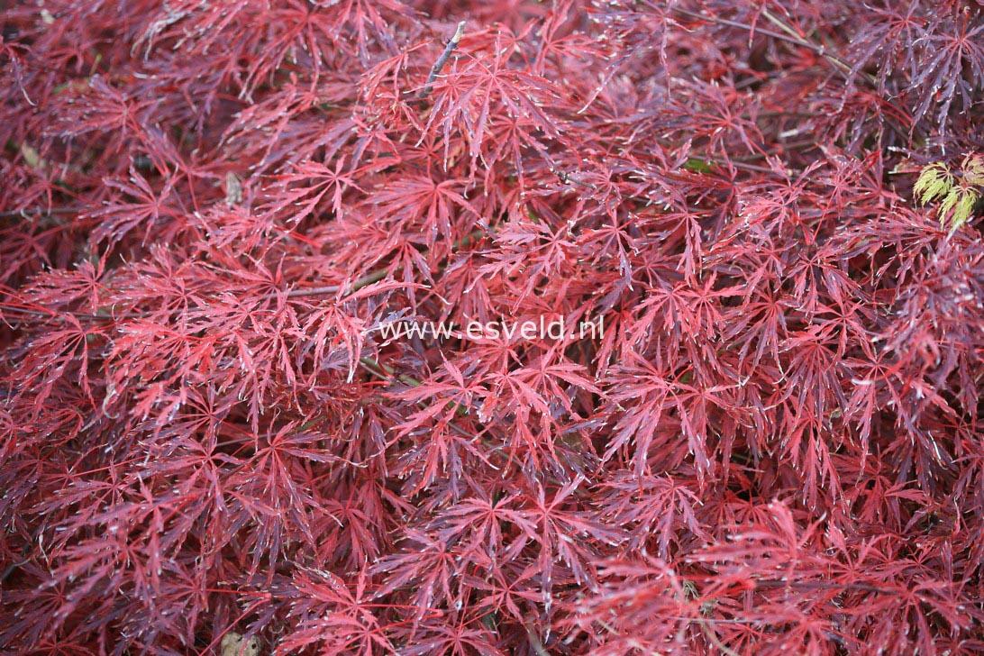 Acer palmatum 'Green Hornet'