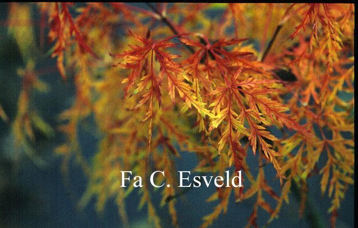 Acer palmatum 'Green Mist'