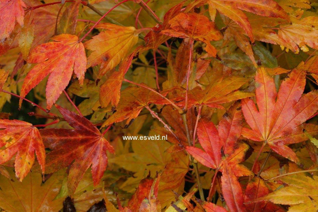 Acer palmatum 'Hakodate-yama'