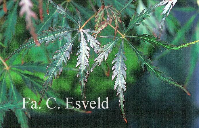 Acer palmatum 'Heartbeat'