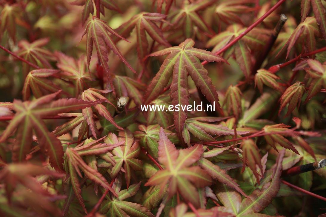 Acer palmatum 'Hime-chidori'