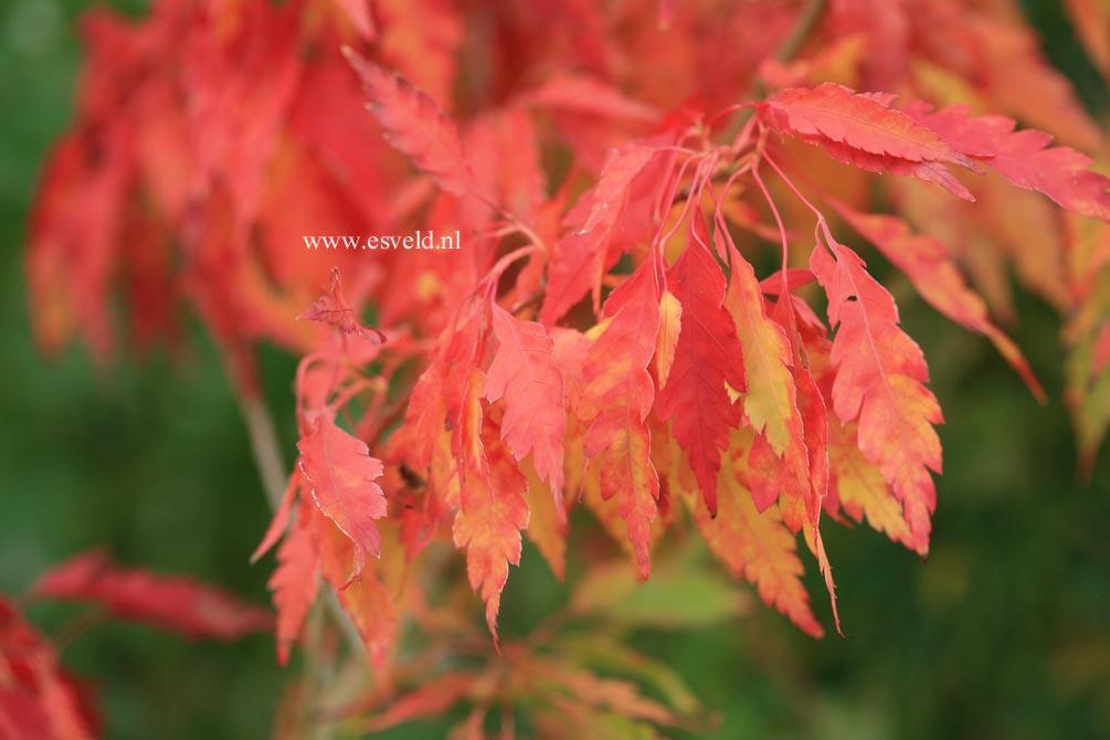 Acer palmatum 'Hiroha-koshimino'