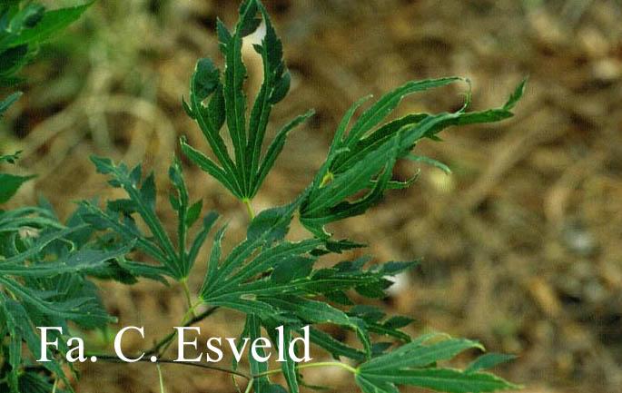Acer palmatum 'Hiryū'