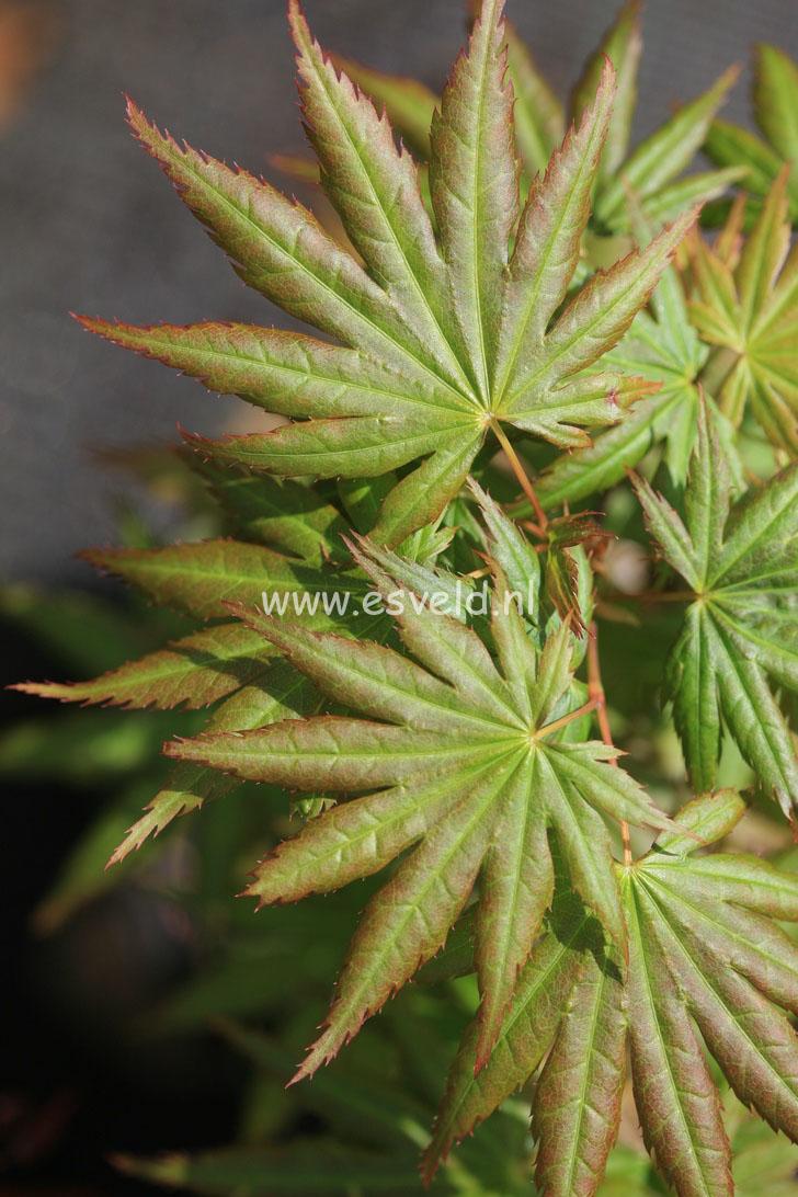 Acer palmatum 'Hitode'