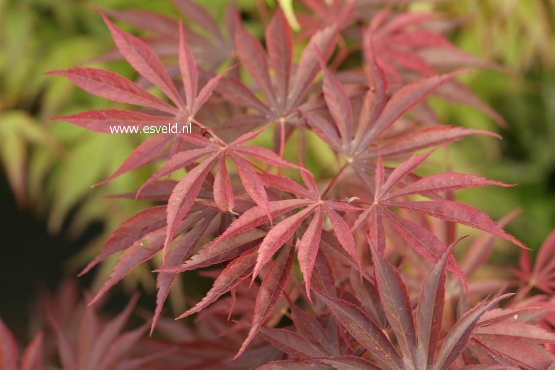 Acer palmatum 'Ikoma'