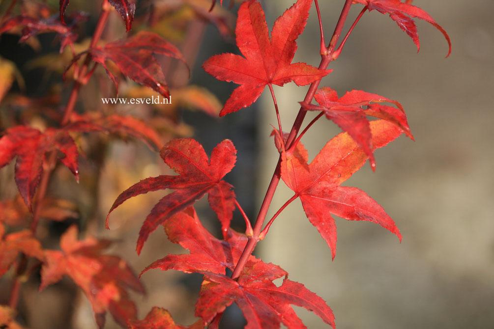 Acer palmatum 'Jade Gate'