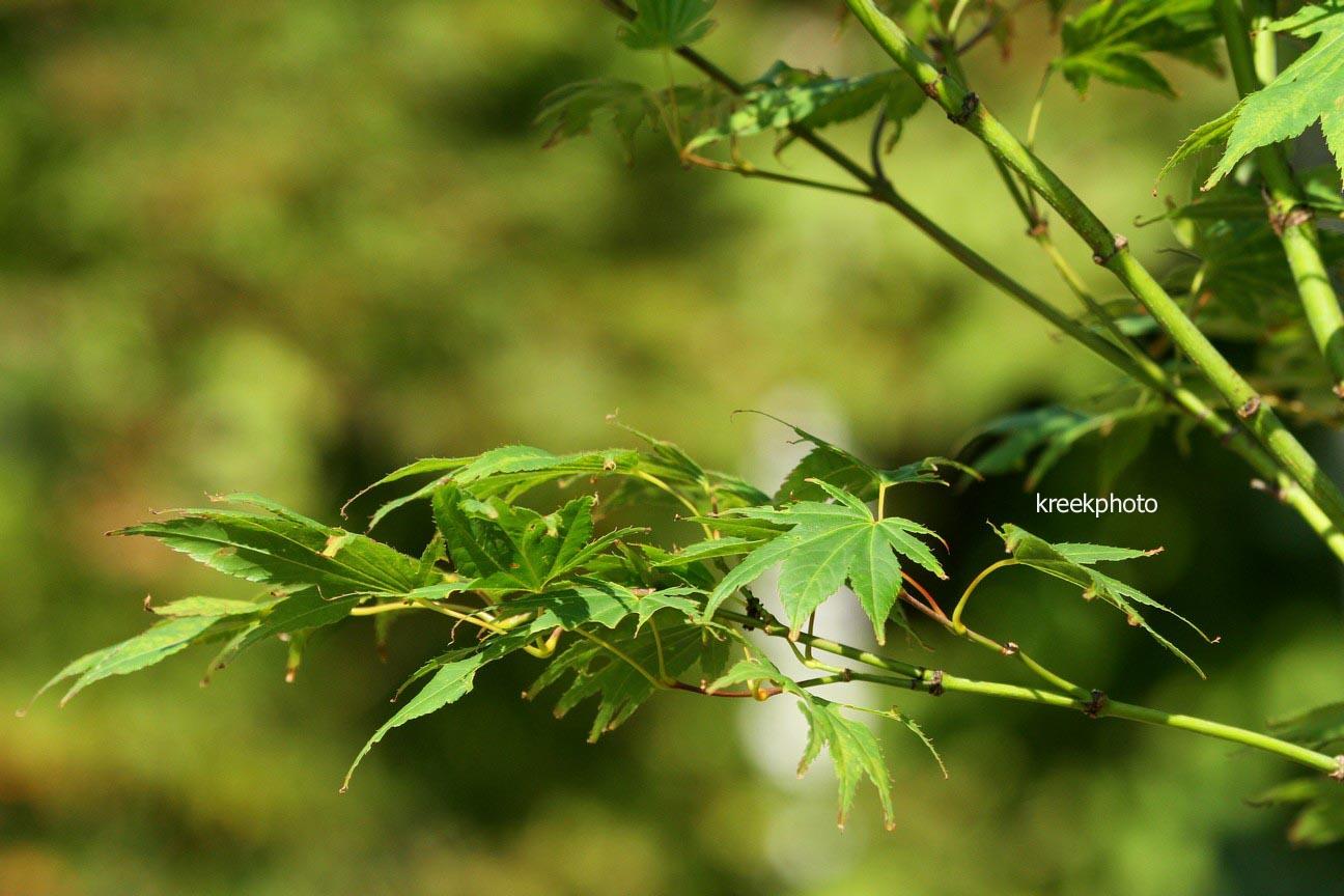 Acer palmatum 'Jeff's Green Seedling'