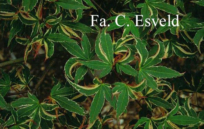 Acer palmatum 'Kagiri-nishiki'