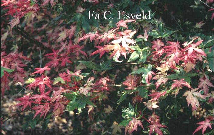 Acer palmatum 'Karasu-gawa'