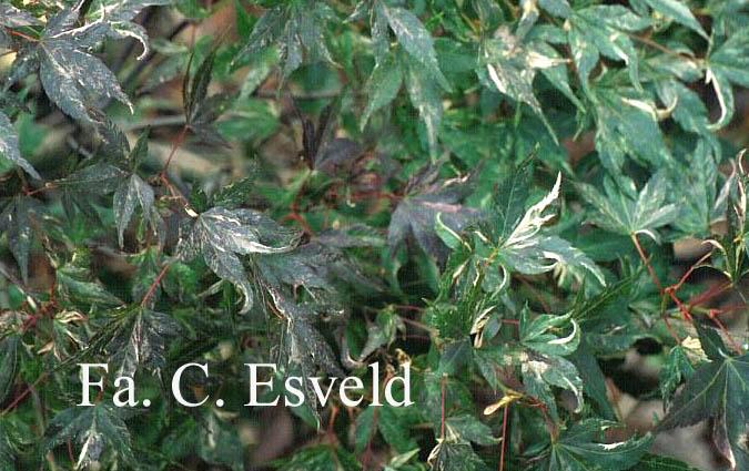 Acer palmatum 'Kasen-nishiki'