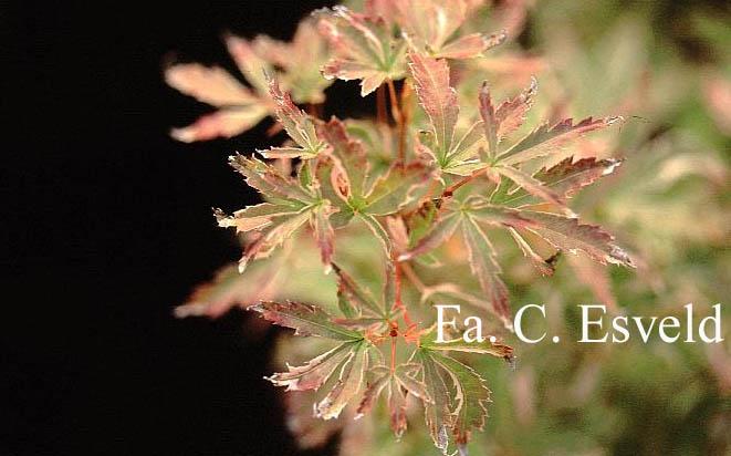 Acer palmatum 'Kocho-nishiki'