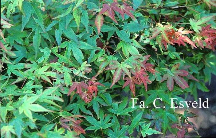 Acer palmatum 'Kogane-saka-e'