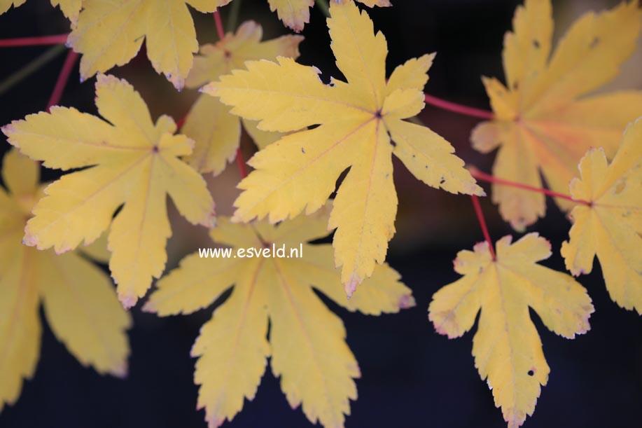 Acer palmatum 'Kohya-madani-nishiki'
