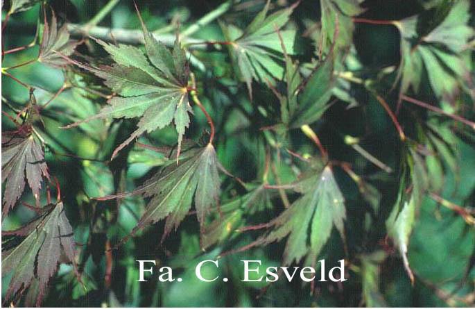 Acer palmatum 'Koko'