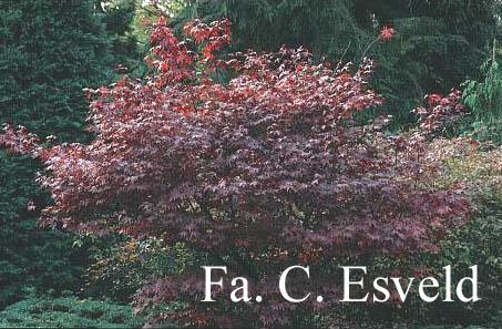 Acer palmatum 'Korean Gem'