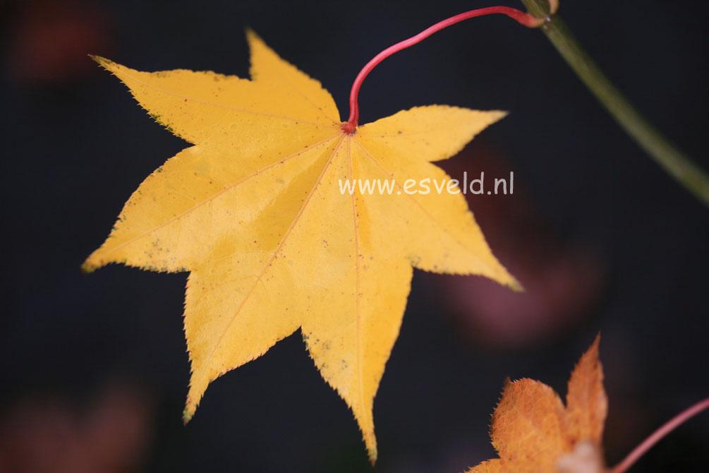 Acer palmatum 'Korin'