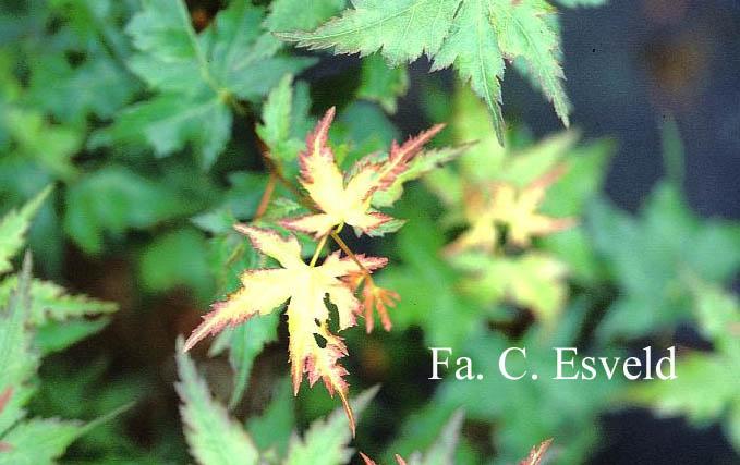 Acer palmatum 'Kyra'