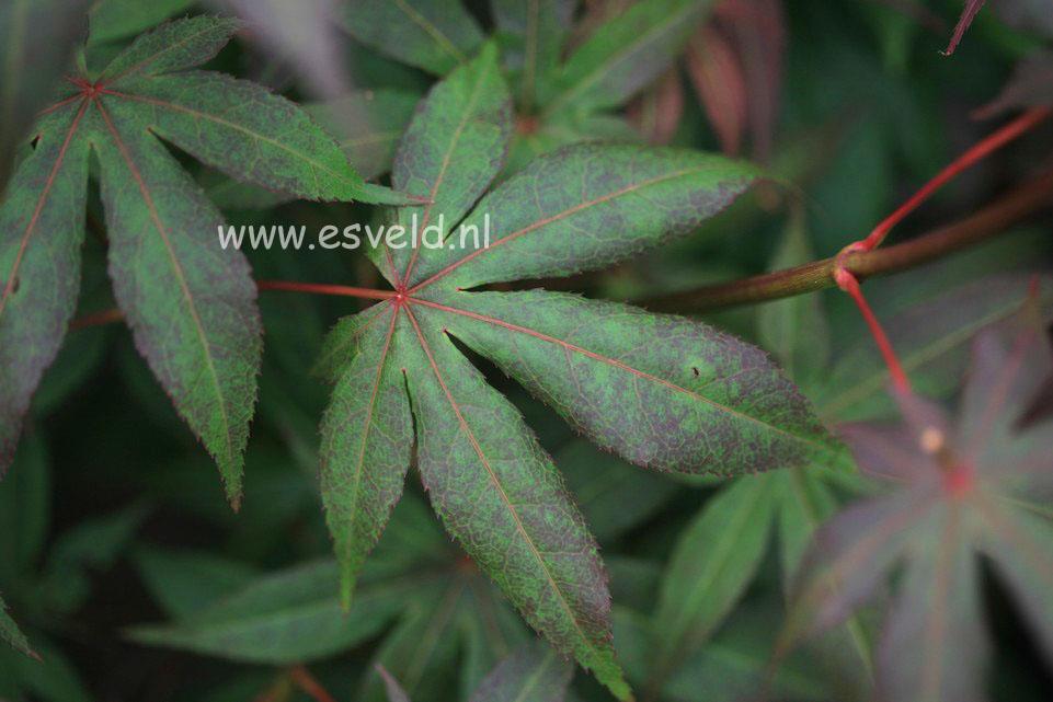 Acer palmatum 'Long Men'