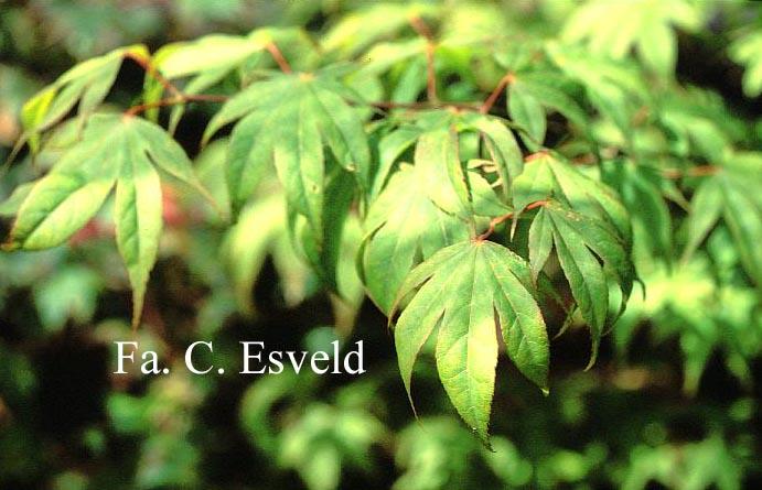 Acer palmatum 'Lucky Star'
