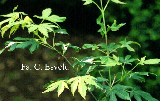 Acer palmatum 'Meihoh'