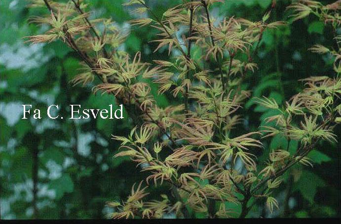 Acer palmatum 'Mizuho-beni'