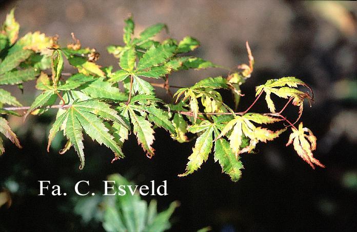 Acer palmatum 'Mono-zigawa'
