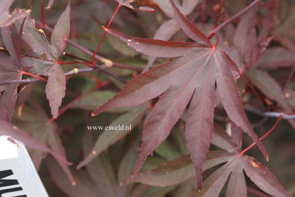 Acer palmatum 'Mufuri'