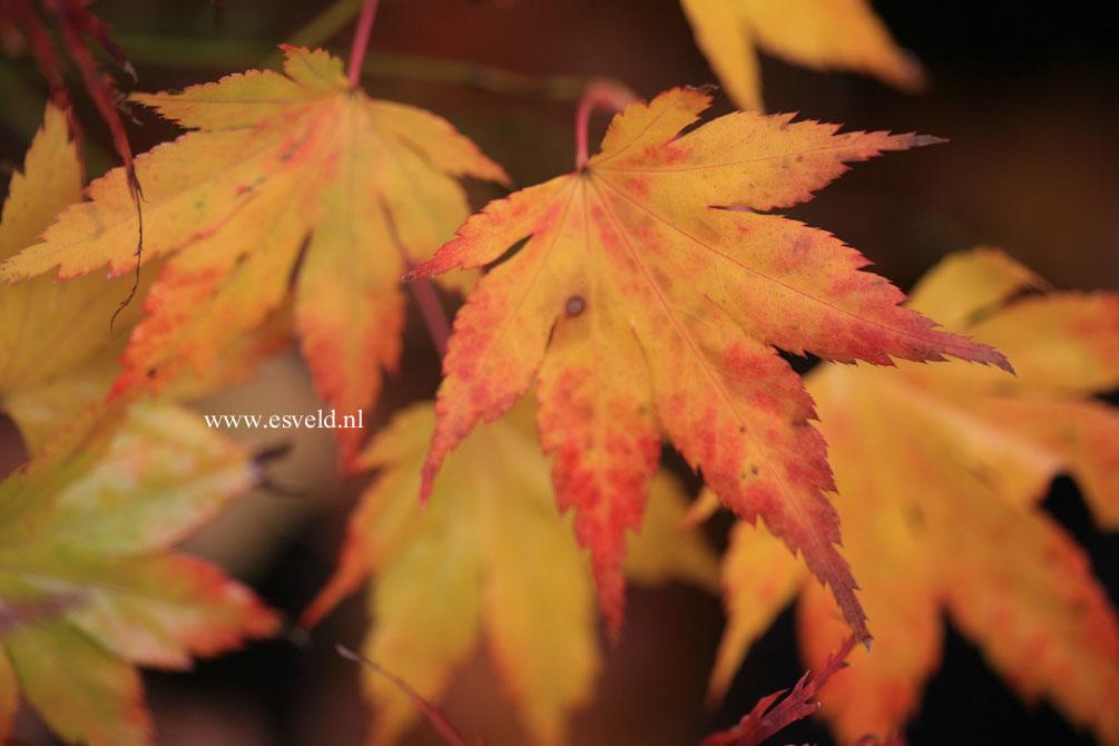 Acer palmatum 'Muko-gasa'