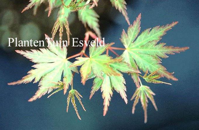 Acer palmatum 'Nagisa-hime'