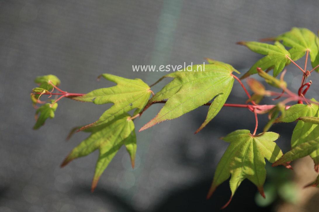 Acer palmatum 'Naka-oku-gawa'