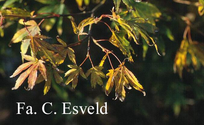 Acer palmatum 'Nanase-gawa'