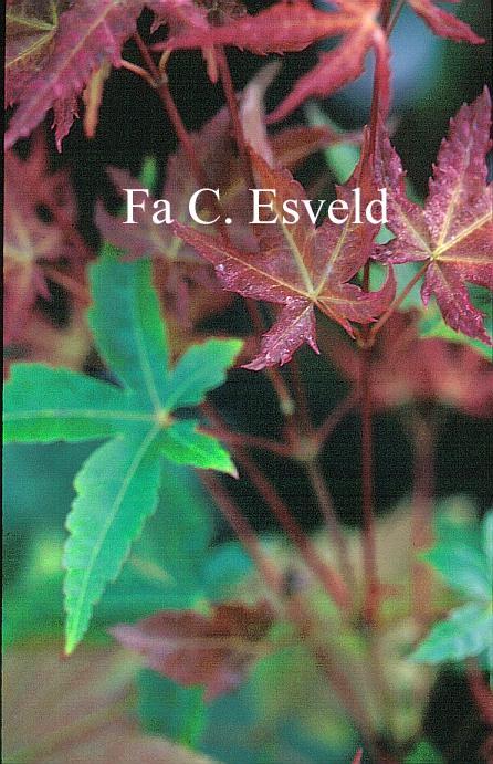 Acer palmatum 'Naniwa-beni'
