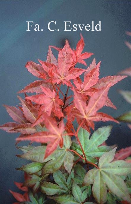 Acer palmatum 'Nishiki-no-murasaki'