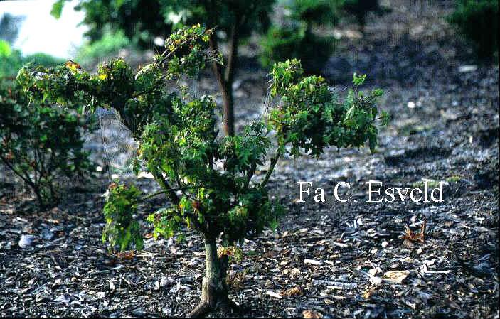 Acer palmatum 'Oto hime'