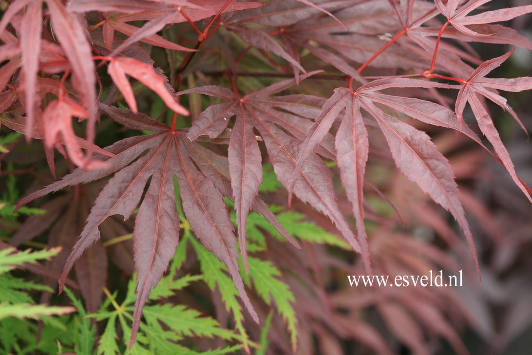 Acer palmatum 'Peve Dave'