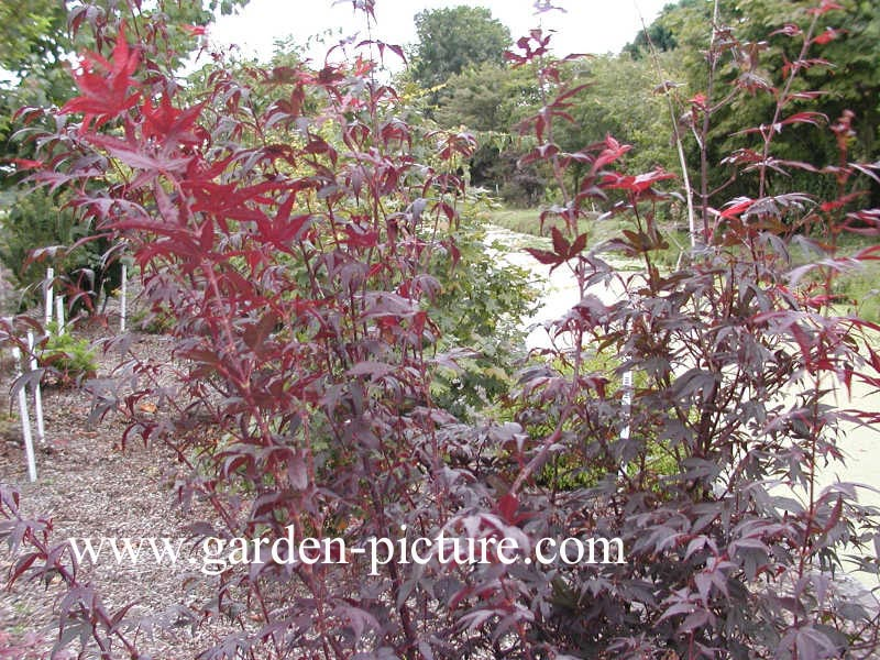 Acer palmatum 'Pung Kill'