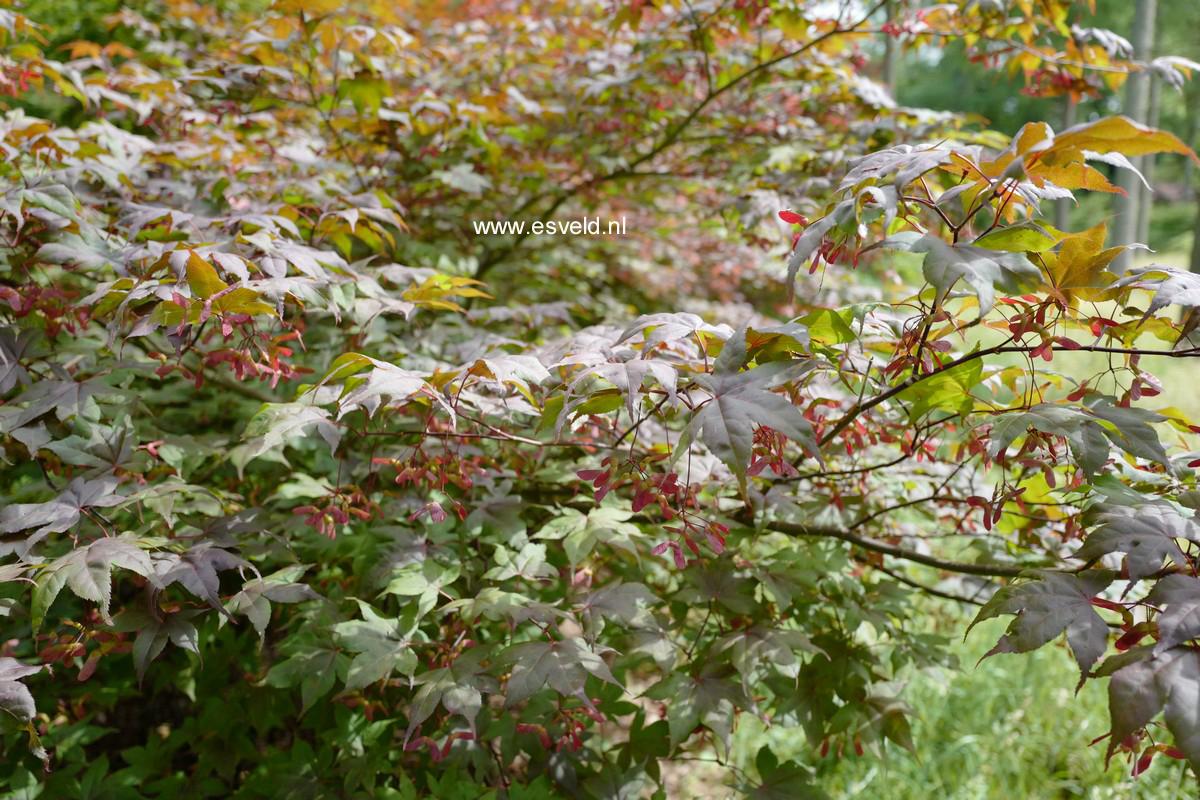Acer palmatum 'Red Baron'