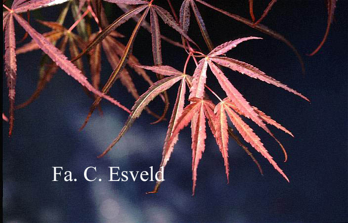 Acer palmatum 'Red Cloud'
