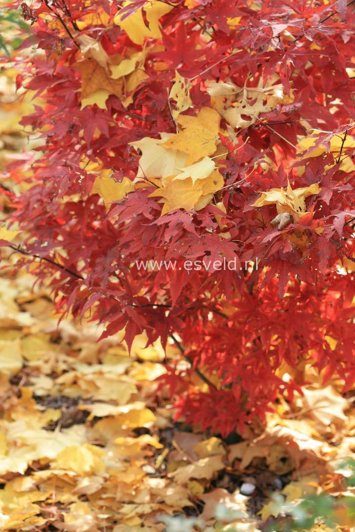 Acer palmatum 'Red Spray'