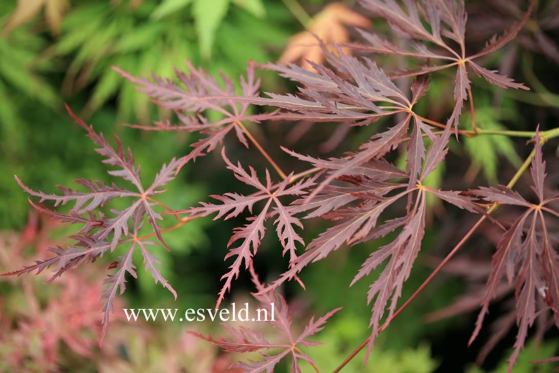 Acer palmatum 'Red Strata A'