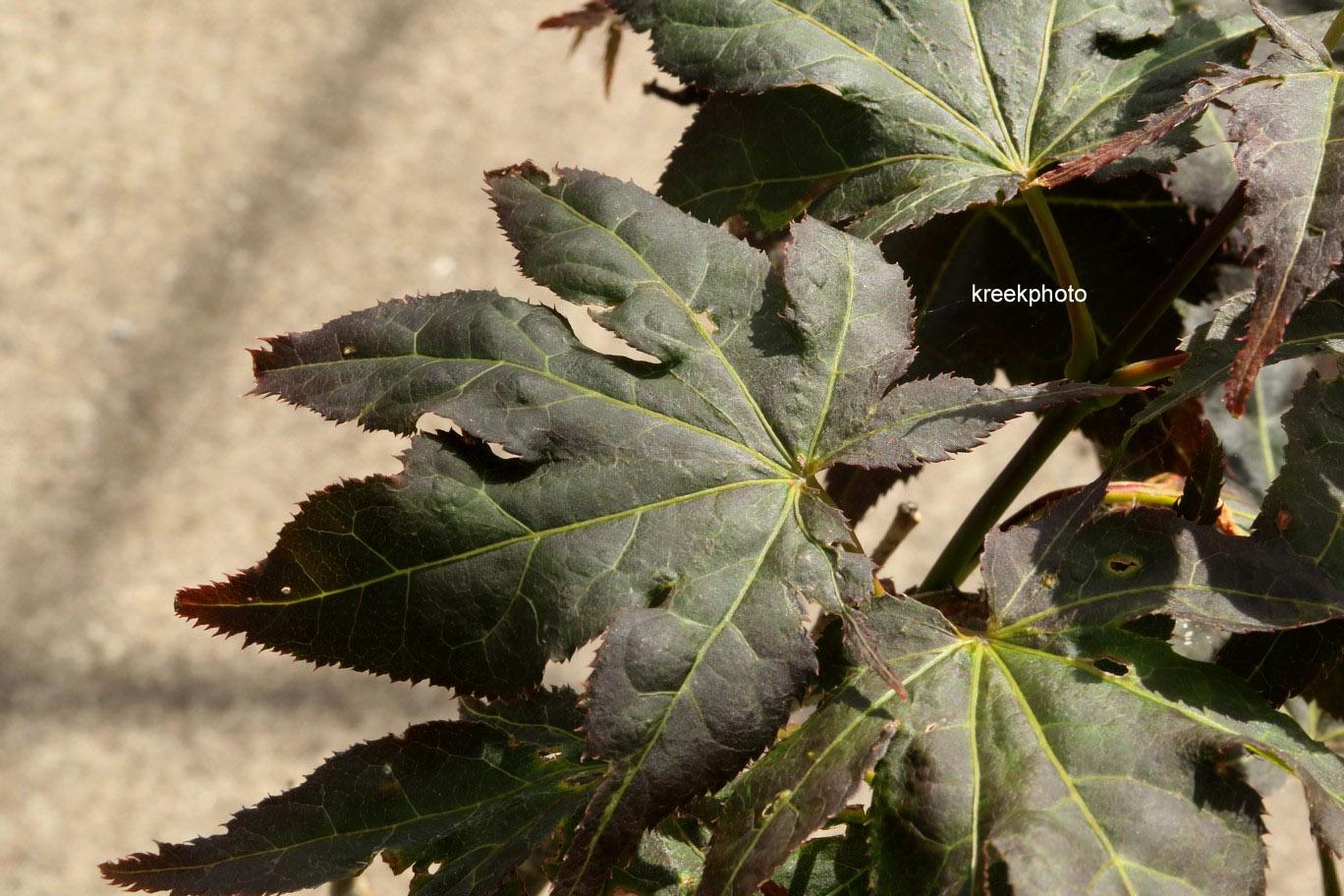 Acer palmatum 'Ruby Ridge'