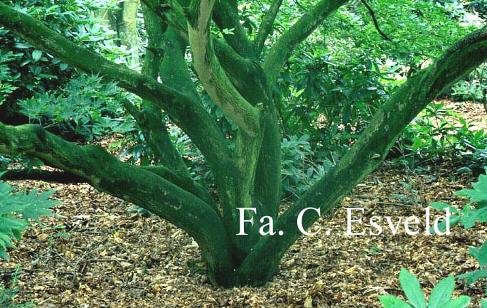 Acer palmatum 'Rufescens'